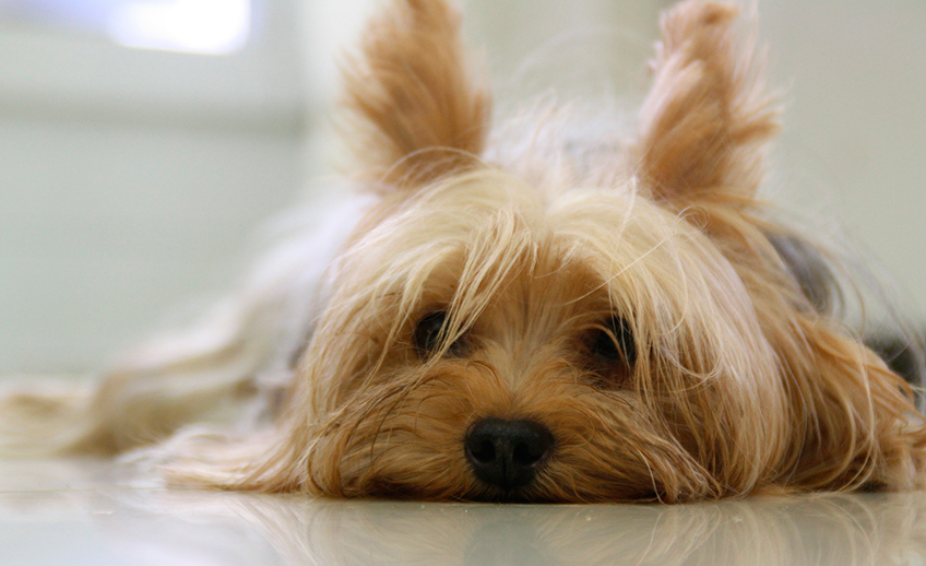 yorkshire-terrier-171701_1920